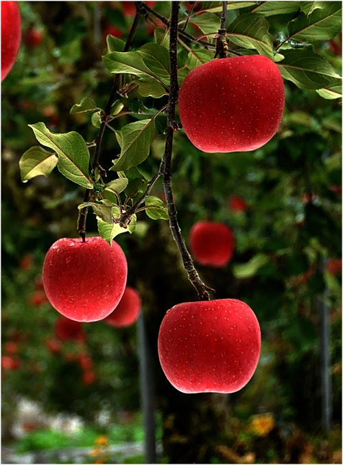 Red Delicious, Japan
